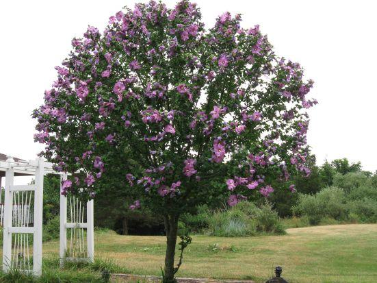 mugung-tree