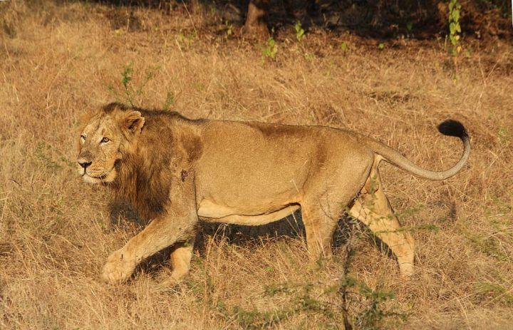 persian-lion