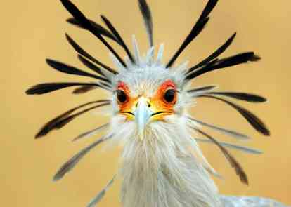 scretary-bird